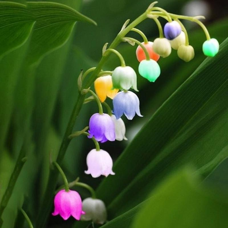 50PCS Rare Lily of Valley Flower Seeds Colored Rainbow Bell Orchid Seed Garden Bonsai