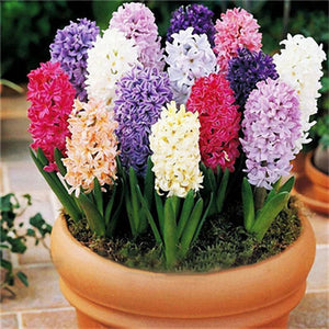 100Pcs Hyacinth Flower Seeds Mixed Color Beautifying Garden Bonsai Potted Blooming Plant