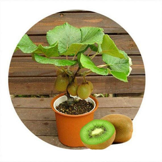 100PCS Thailand Mini Kiwi Fruit Seeds Flowers Garden Edible Delicious Bonsai Fruit Planting