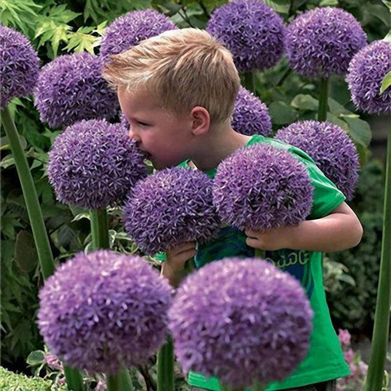 100 PCS Garden Outdoor Giant Allium Giganteum Beautiful Flower Seeds Bonsai Plant Seeds