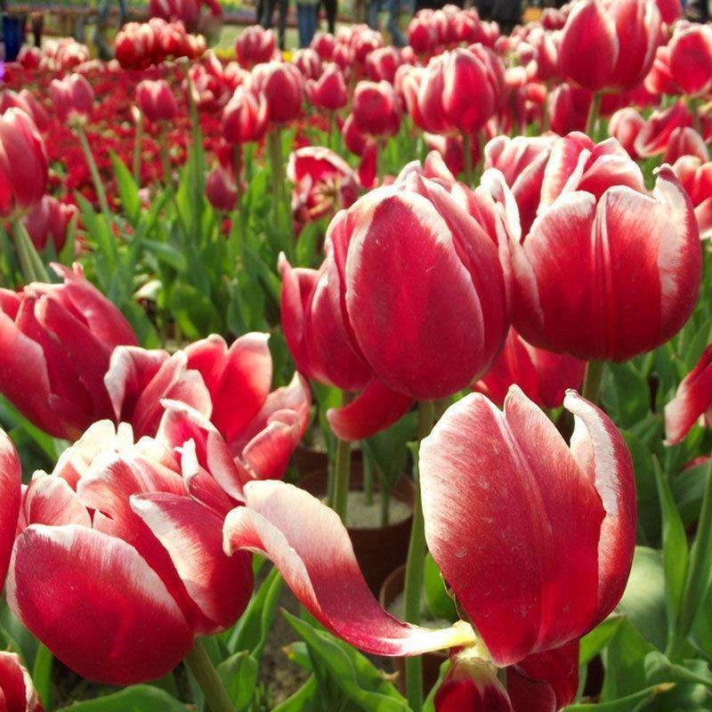120Pcs Colorful Tulip Seeds Tulip Flower Seeds Perennial Home Garden Potted Plants
