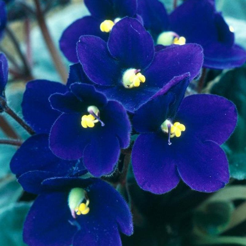100Pcs Blue Evening Primrose Seeds Rare Garden Fragrant Flower Bonsai Seeds