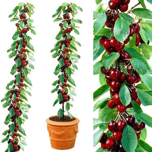 40 Pcs/Bag Cherry Seeds Home Indoor Fruit Bonsai Dwarf Cherry Tree Seed Planting