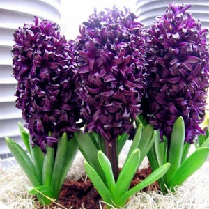 100pcs/bag Hyacinth seeds Perennial rare flower Seeds Holland Hydroponic flower for home and garden
