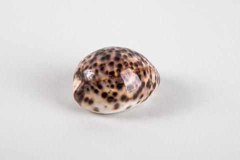 Cypraea Tigris,Special offer -40%