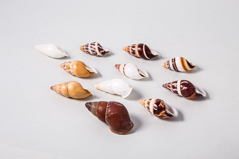 Land Snail Assorted