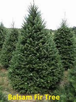 Superior Tree Farms - 5 1/2' Balsam Fir or Fraser Fir Tree