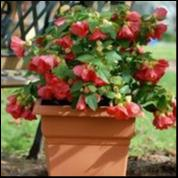 Load image into Gallery viewer, Abutilon Lucky Lantern Red 150 mm