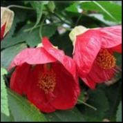 Abutilon Lucky Lantern Red 150 mm