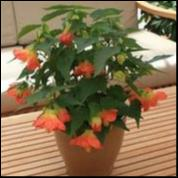 Load image into Gallery viewer, Abutilon Lucky Lantern Tangerine 150 mm