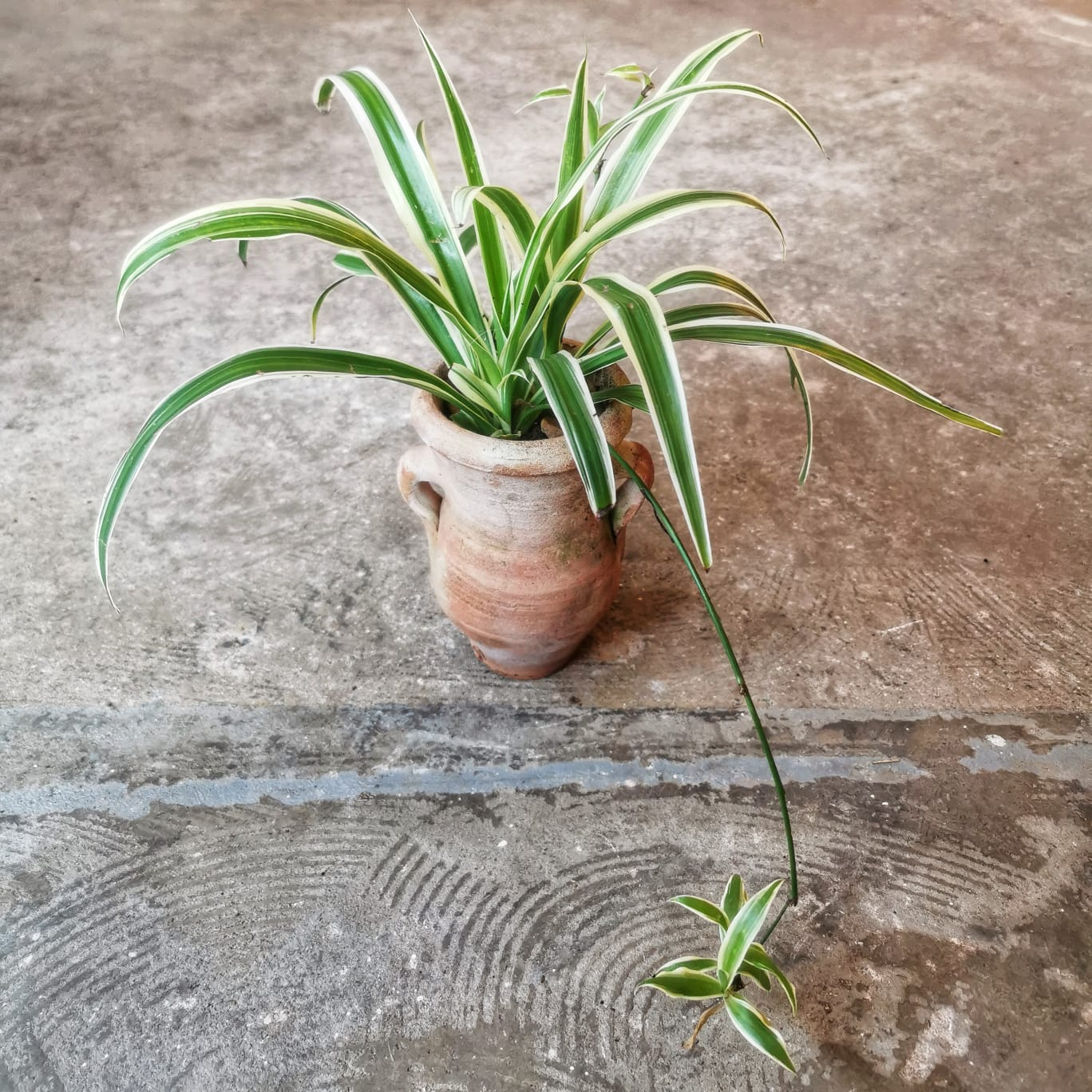 Mini Spider Plants in Vintage Terracotta Urns