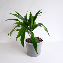 Load image into Gallery viewer, Dracaena fragrans aka The corn plant