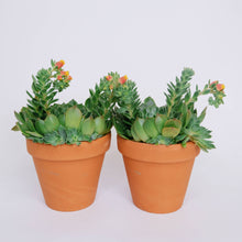 Load image into Gallery viewer, Echeveria Setosa aka Mexican Firecracker in terracotta pot