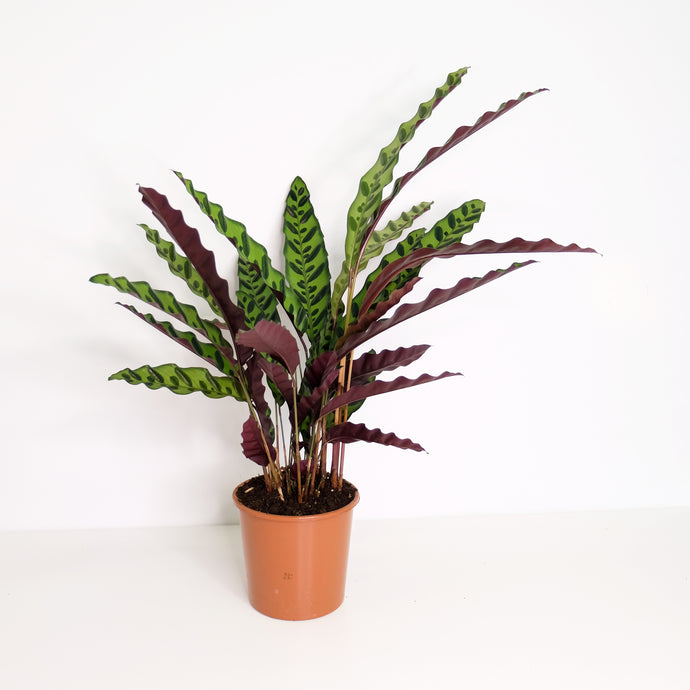 Calathea lancifolia (the big one)
