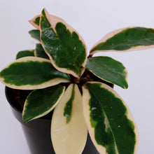Load image into Gallery viewer, Hoya car. Albomarginata aka Wax plant