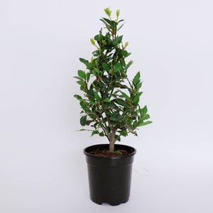 Laurus nobilis aka Bay Laurel