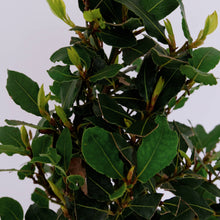 Load image into Gallery viewer, Laurus nobilis aka Bay Laurel