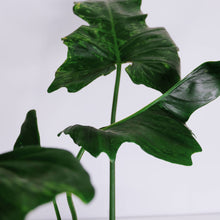 Load image into Gallery viewer, Philodendron Camouflage