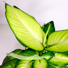 Load image into Gallery viewer, Dieffenbachia Summer Style