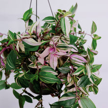 Load image into Gallery viewer, Tradescantia Mix aka Wandering Jew