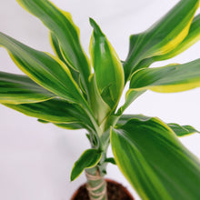 Load image into Gallery viewer, Dracaena frag. Golden Coast aka the Corn plant