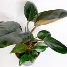 Load image into Gallery viewer, Philodendron red Diamond