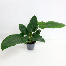 Load image into Gallery viewer, Philodendron Imperial green