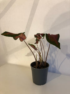 Red Caladium (EASYFinds)