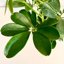 Load image into Gallery viewer, Schefflera Classic