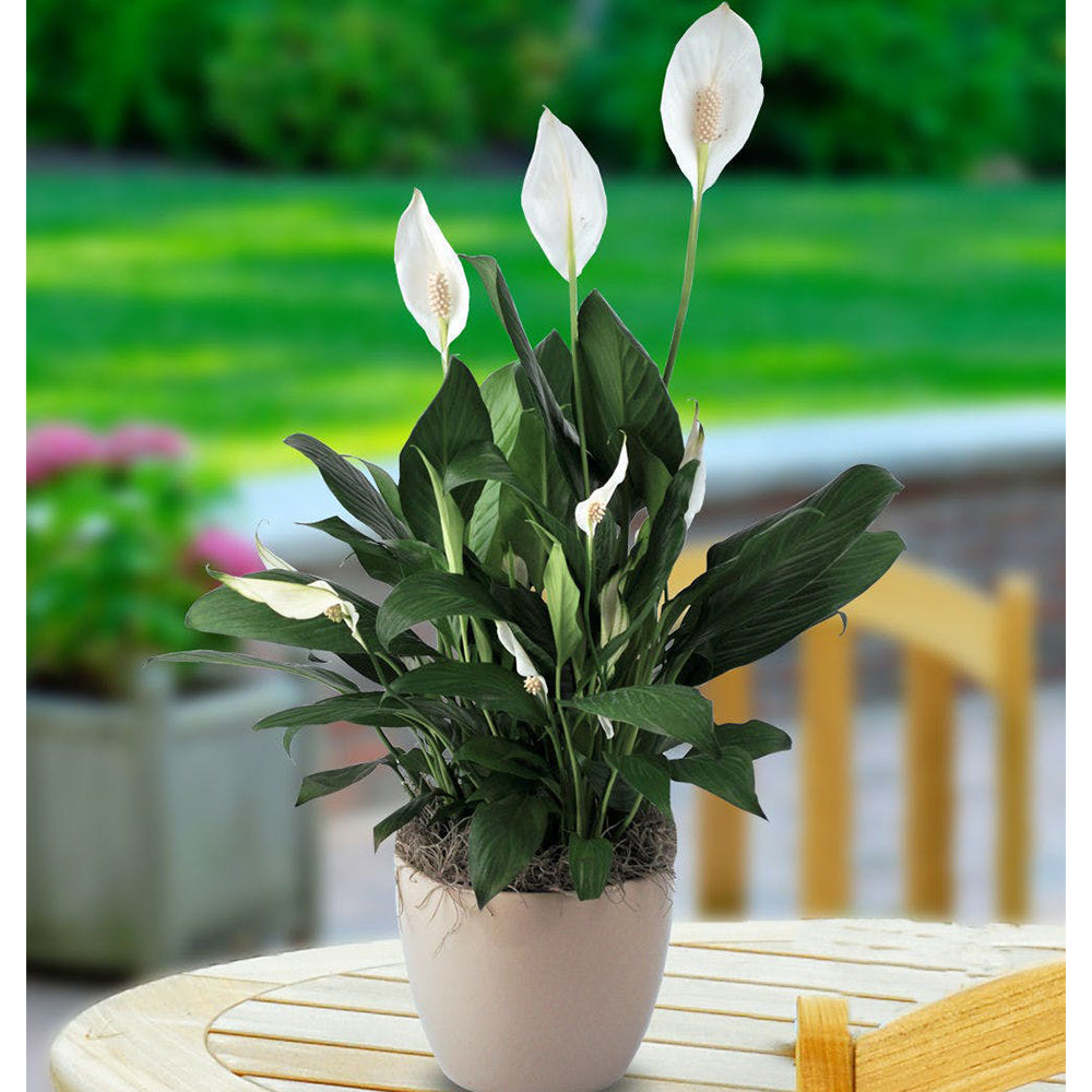 Peace Lily (Spathiphyllum lima)