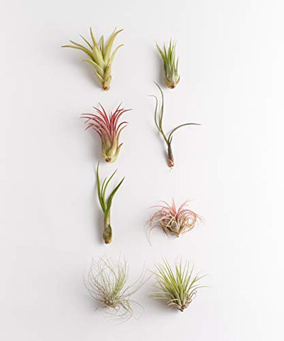 Shop Succulents | Assorted Collection of Live Air Plants, Hand Selected Variety Pack of Air Succulents | Collection of 8