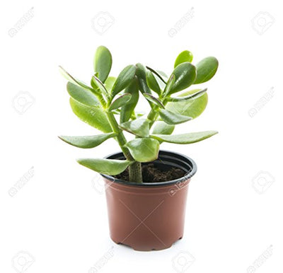 "'Hobbit' Jade Plant - Crassula ovuta - Easy to Grow - 4"" Pot"