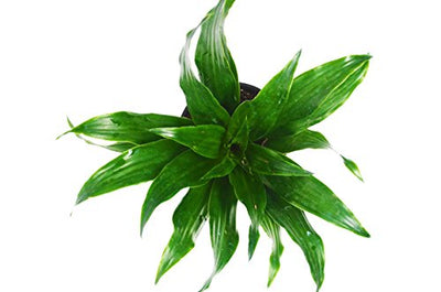 "Dracaena 'Warneckii' - Live House Plant - FREE Care Guide - 4"" Pot - HARD TO KILL"