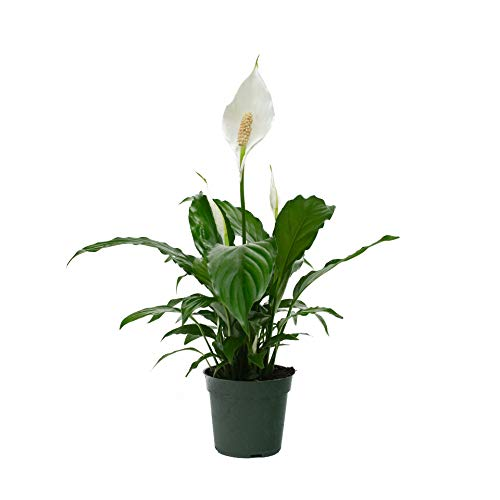 LiveTrends Design 4 inch Spathiphyllum, Green