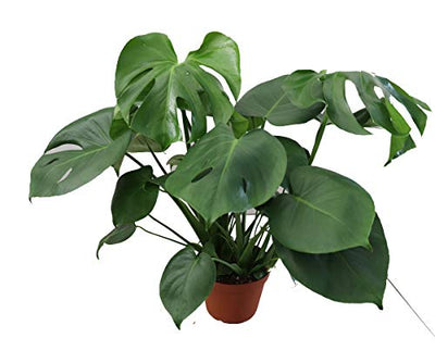 "Monstera Split Leaf - 6"" from California Tropicals"
