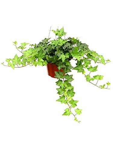 "Shop Succulents | Live California Ivy House Plant in 6"" Grow Pot 