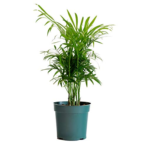 LIVETRENDS Urban Jungle Palm Neantha Bella in 4-inch Grower Pot, (Live Plant)
