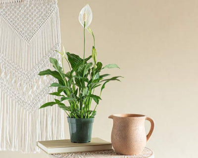 LIVETRENDS/Urban Jungle Peace Lily (Spath) in 4-inch Grower Pot, (Live Plant)