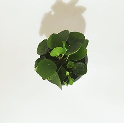 "Pilea Peperomioides - 6"" Pot with babies"