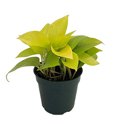 "Neon Devil's Ivy - Pothos - Epipremnum - 4"" Pot - Very Easy to Grow"