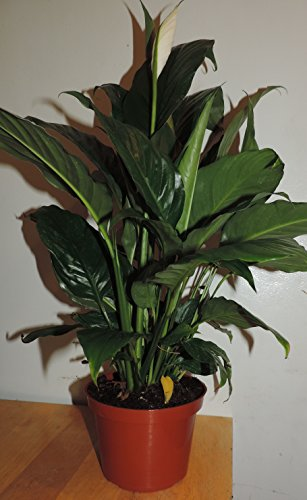 "1-peace Lily Plant - Spathyphyllium - Great House Plant - 6"" Pot unique -from jmbamboo"