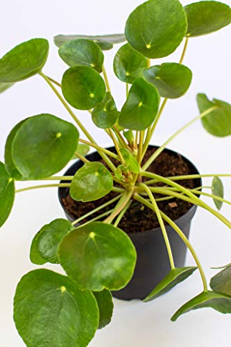 "Lively Root Chinese Money Live Indoor Plant | Lily Pad Leaves! | Air Purifying | Pilea peperomioides | 6"" Grower Pot"