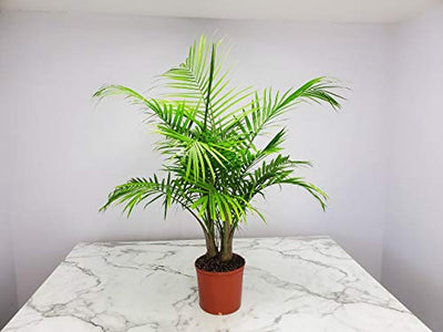"Majesty Palm - 3 Gallon Pot - Overall Height 42"" to 48"" - Tropical Plants of Florida"