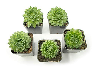Fractal Succulents (5 Pack) Live Sempervivum Houseleek Succulent Rooted in Pots | Flowering Plant Leaves / Geometric Rosettes by Plants for Pets
