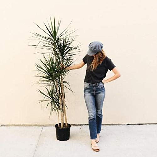 Madagascar Dragon Tree - Dracaena Marginata - 4 Feet Tall - Beautiful Florist Quality House Plant