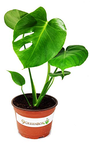 "JM BAMBOO Split Leaf Philodendron 6"" Pot - Monstera - Edible Fruit Tastes Like Pineapple"