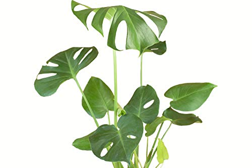 "Shop Succulents Standing Collection Indoor House Plant in 6"" Grow Pot, Monstera, Green"