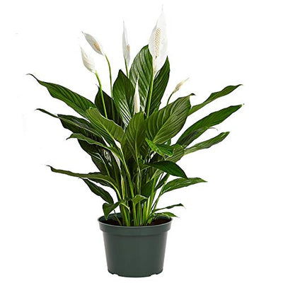"AMERICAN PLANT EXCHANGE Spathiphyllum Flower Bunch Peace Lily Easy Care Live Plant, 6"" Pot, Top Indoor Air Purifier"