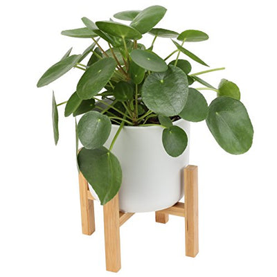 Costa Farms Chinese Money Pilea Peperomioides, Sharing Indoor Plant, Medium, White