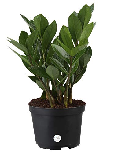 Costa Farms ZZ Zamioculcas Zamiifolia Live Indoor Plant, 12-Inch Tall, Fresh From Our Farm, Excellent Gift